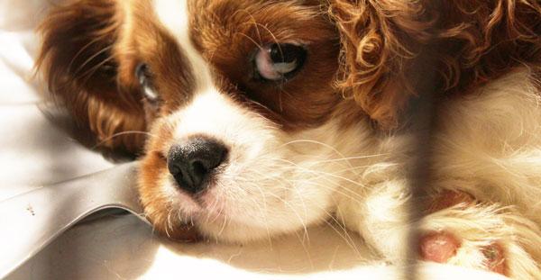 Цена на щенка